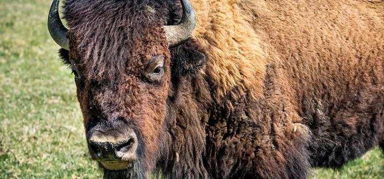 Chemech et Levana chez les bisons
